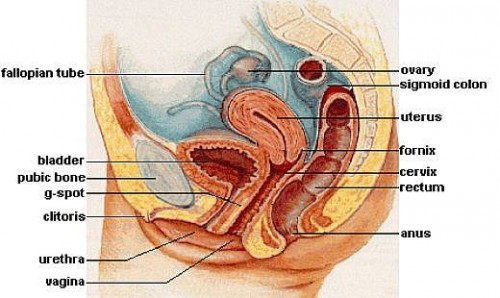 gspot anatomy